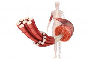 筋繊維と筋肉痛