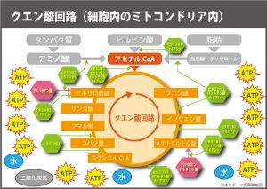 エネルギー代謝サイクル