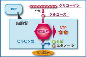 解糖系システム