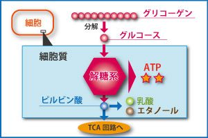 乳酸が発生する解糖系