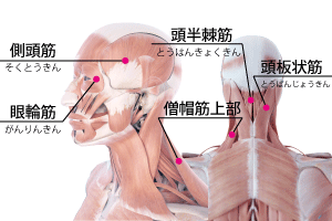 頭痛の筋膜リリースのポイント