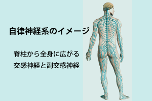 自律神経網