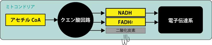 クエン酸回路周辺経路
