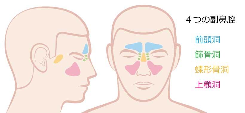 4つの副鼻腔