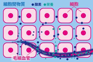 細胞間物質(コラーゲン)