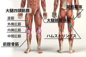 膝を支える筋肉たち