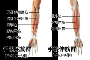 手根屈筋群と手根伸筋群