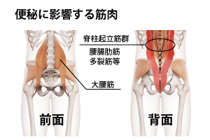 便秘に関係する筋肉