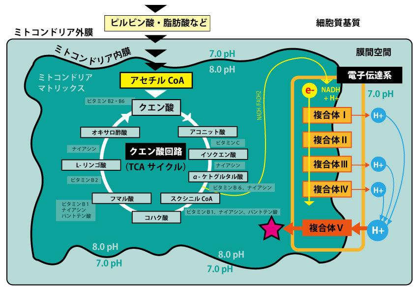 クエン酸回路と電子伝達系