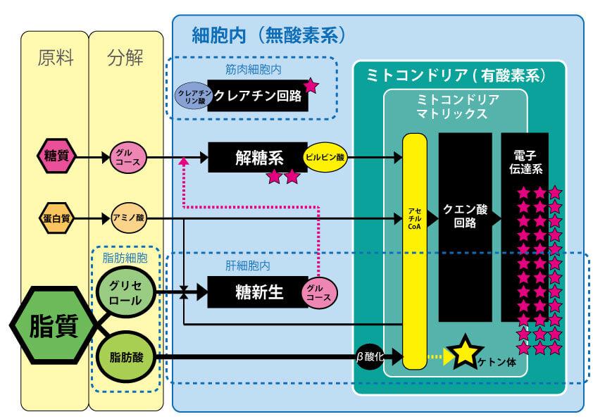 エネルギー代謝俯瞰図